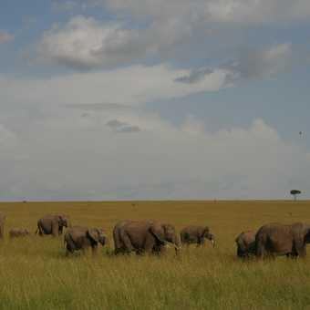 Elephants stride across the Mara