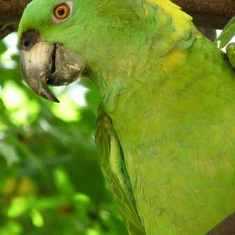 Yellow napped parrot