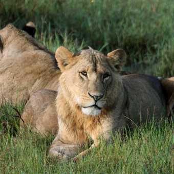 Young male lion - L Nakuru