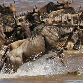 Wildebeest jumps over crocodile