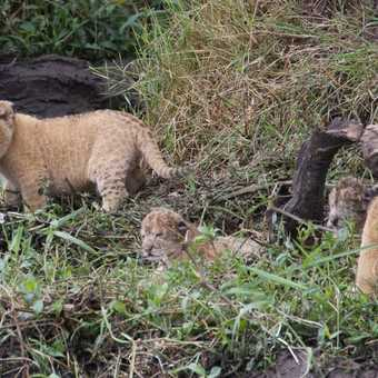 Two cubs who are a few weeks old and two who are just a few hours old