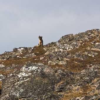 Arctic Fox on Alkhornet