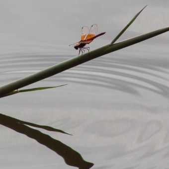 Dragonfly on the Nile at Jinja