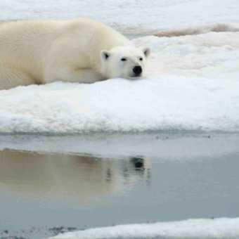 Polar bear on Ice floe