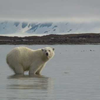 Bear about to swim