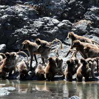 A troop of Gelada Baboons come down to drink - Debre Libanos