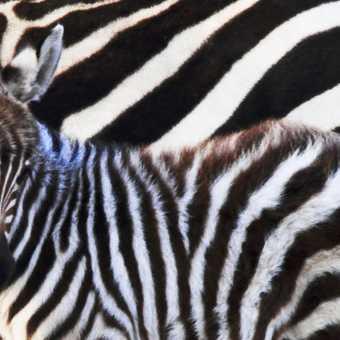 Young Zebra
