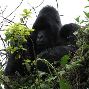 1. Silverback mountain gorilla, Rwanda