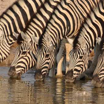 Zebra at Okaukuejo, Etosha NP