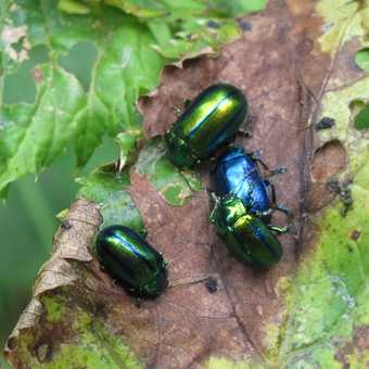 such pretty beetles!