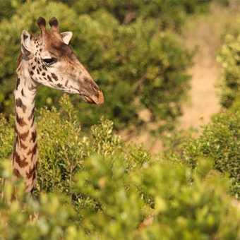 Wildebeest Migration, Masai Mara