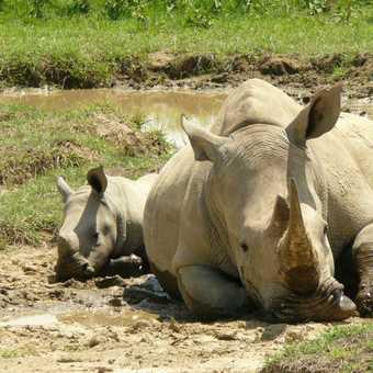 White Rhino and baby 2