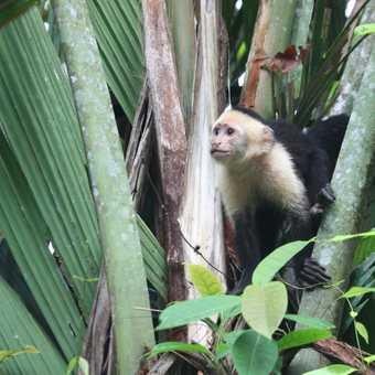 White-faced capuchin monkey, Tortuguero