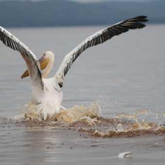 Pelican on Lake Naivaisha