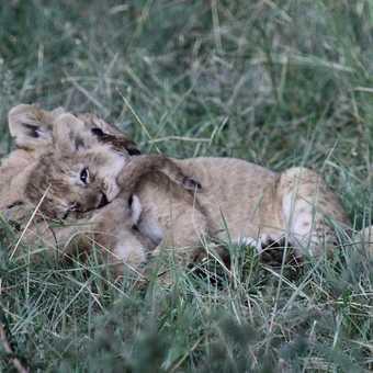 Masai cubs