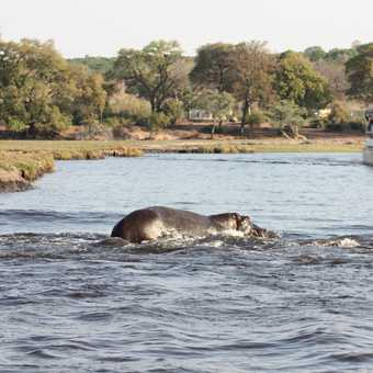 Elephant pair - Chobe