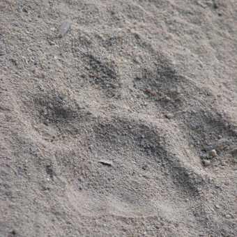Fresh Tiger Track