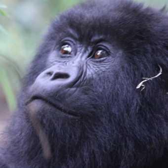 a chimp at the Ngamba Island reserce on Lake Victoria in Uganda
