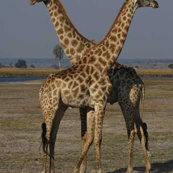 Fighting Giraffe