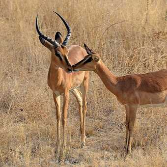 Mother & young black-faced Impala