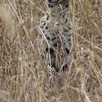Serval in long grass