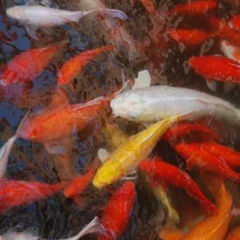 Shanghai goldfish