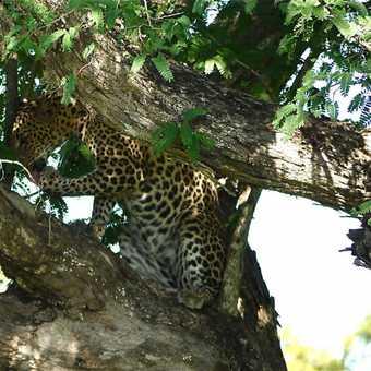 leopard in tamarind tree