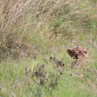 Young cub, Lake Nakuru N.P.