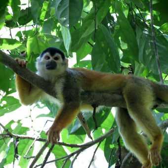 Squirrel Monkey - Corcovado