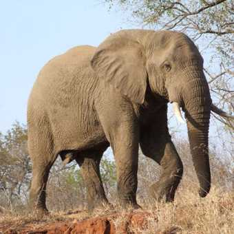 Elephant during game drive