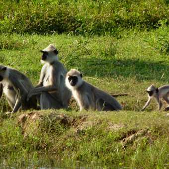 Languir Monkey family
