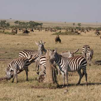 Zebras rubbng those itches