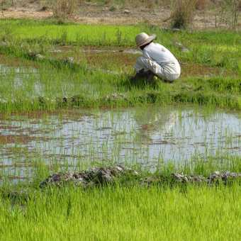 Working in a Rice Paddy