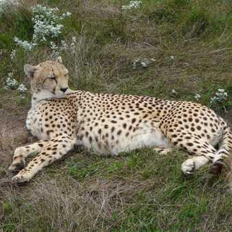 Cheetah at Tenikwa Wildlife Awareness Centre