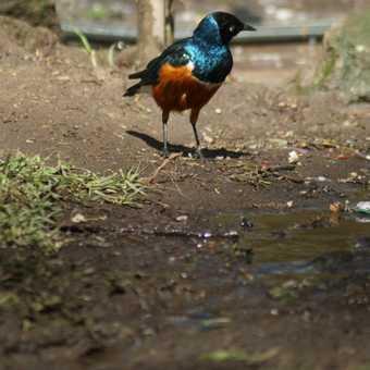 Superb Starling, Lake Naivasha campsite