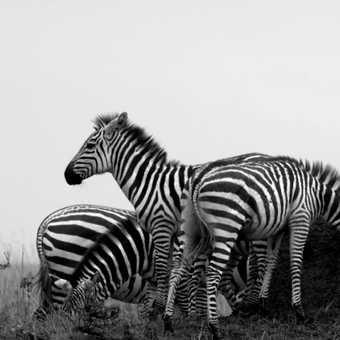Zebra (you don't say!)