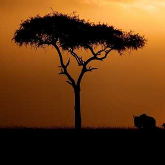 Acacia at dusk