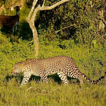 prowling leopard watched by spotted deer