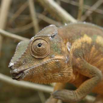 Chameleon giggles