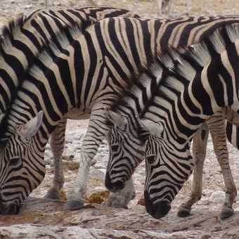 More Zebra