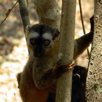 Lemur giving me the finger