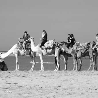 Camels on the beach, Essaouira