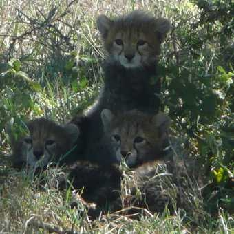 Cheetah cubs - don't deny the cuteness!