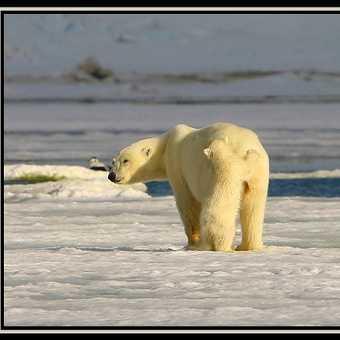 Polar Bear & Cub 7