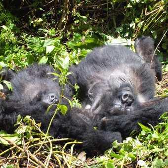 Gorilla trek, Rwanda
