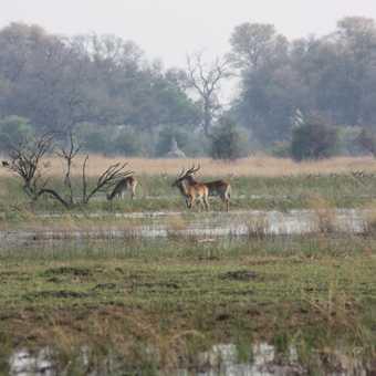 Red lechwe, Moremi Reserve - Okavango Delta