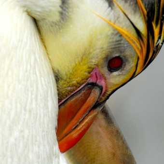 Aukland Isle : Royal Penguin