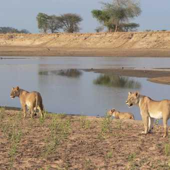 River Lion family
