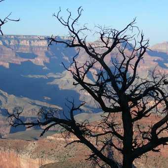 Grand Canyon plus tree!
