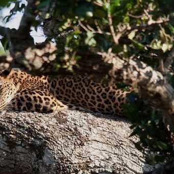 Resting Leopard - Sri Lanka